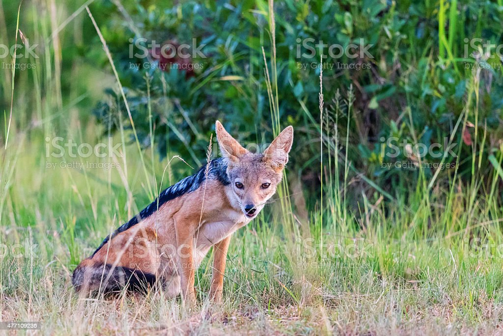 Blackbacked Jackal Scouts In The Grass Stock Photo More Pictures