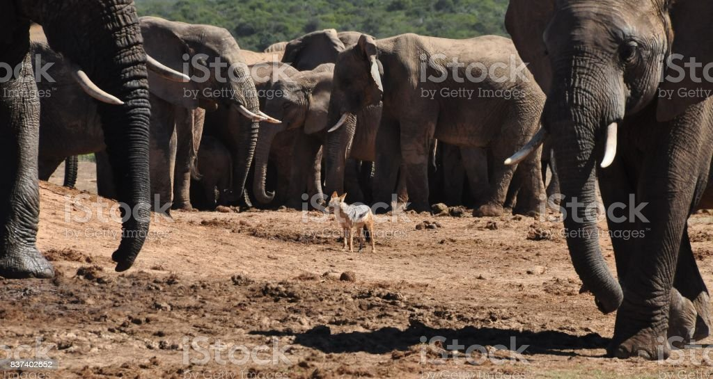 Black-backed jackal surrounded by elephants (oops!). stock photo
