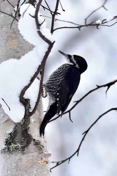 Black-backed woodpecker stock photo