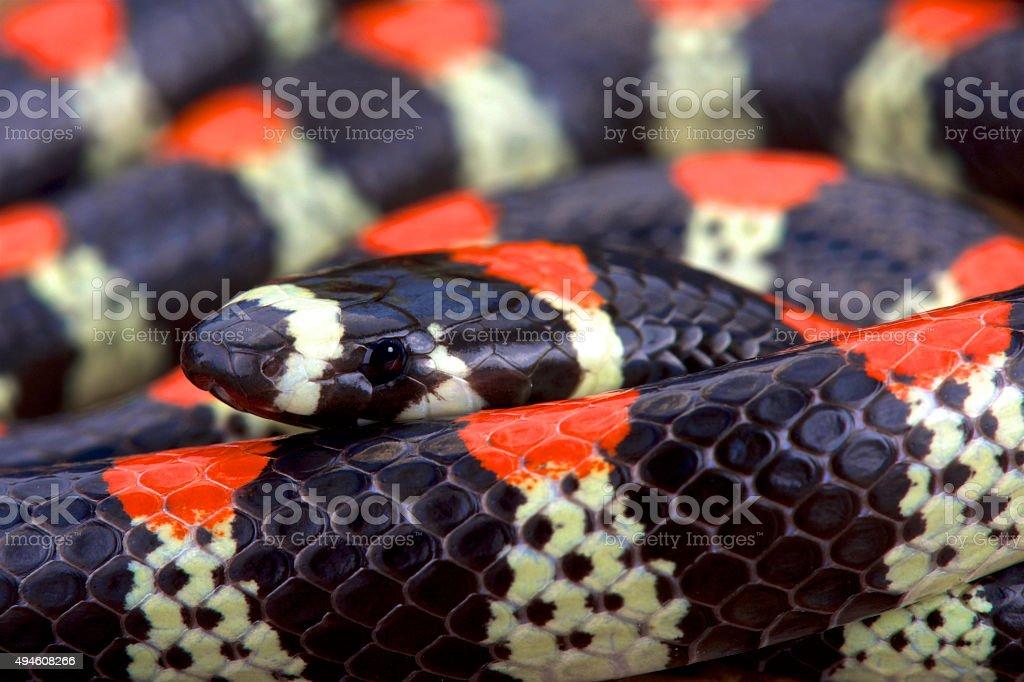 Black-banded centipede eating snake (Scolecophis atrocinctus) stock photo