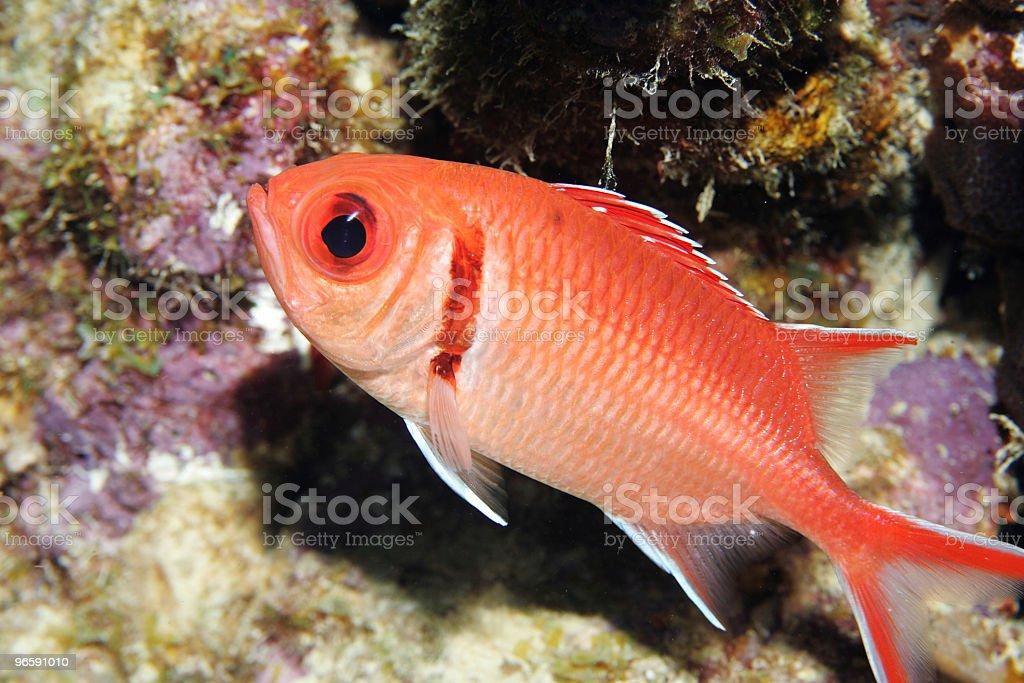 Blackbar Soldierfish - Royalty-free Aquatic Sport Stock Photo