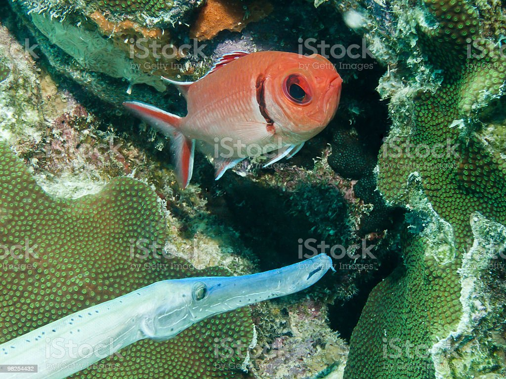 Blackbar soldierfish royalty-free stock photo