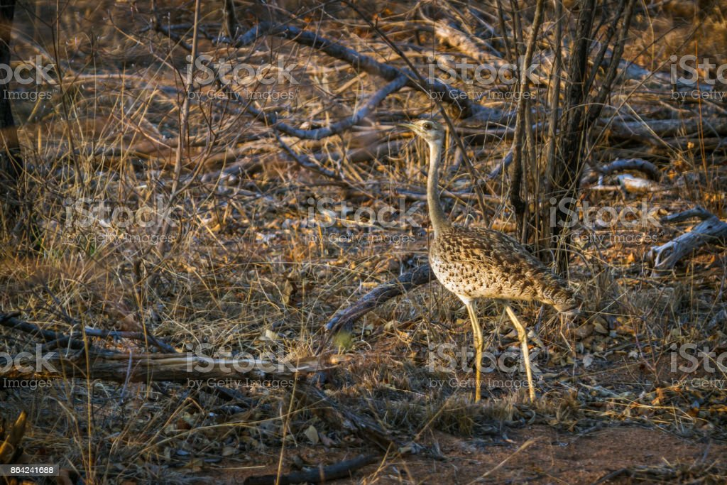 Black-bellied bustard in Kruger National park, South Africa royalty-free stock photo