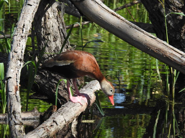 Black-bellied whistling duck looking into the water stock photo