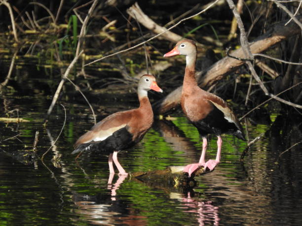 Black-bellied whistling ducks in reflective waters stock photo