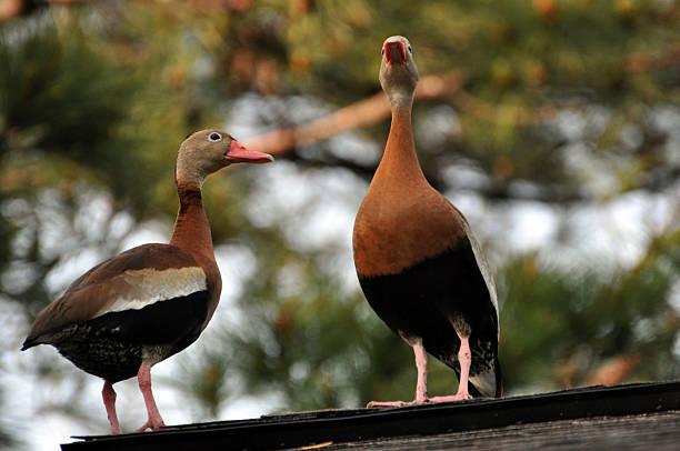 Black-bellied Whistling Ducks stock photo