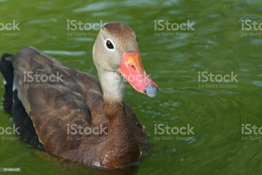 Black-bellied Whistling-Duck stock photo