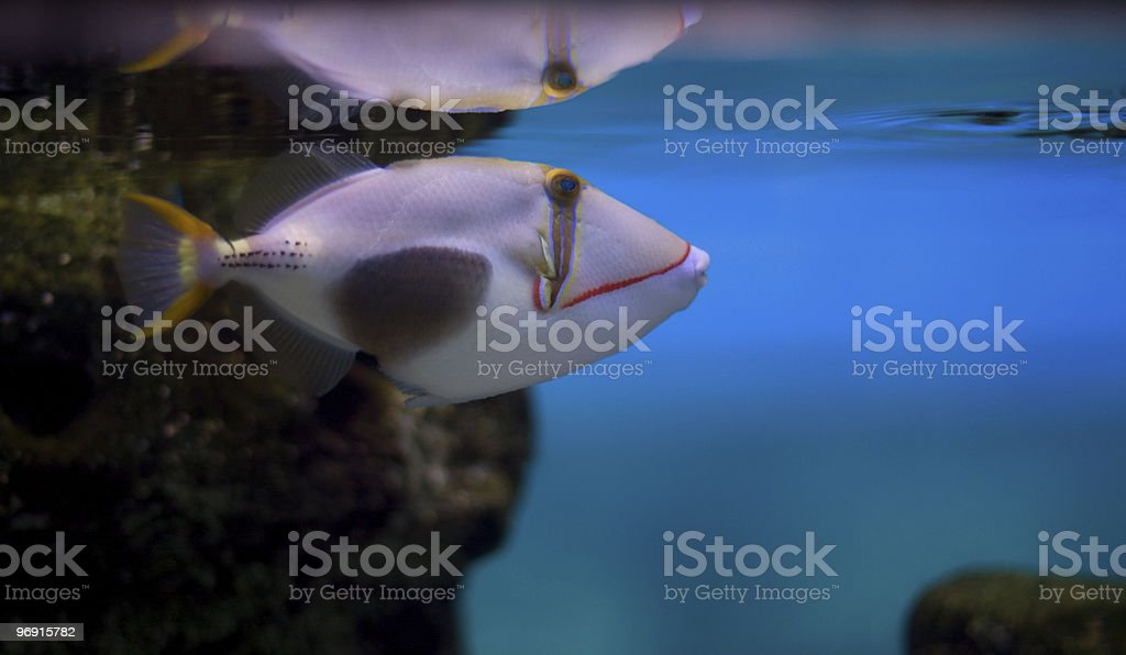 Blackbelly triggerfish royalty-free stock photo
