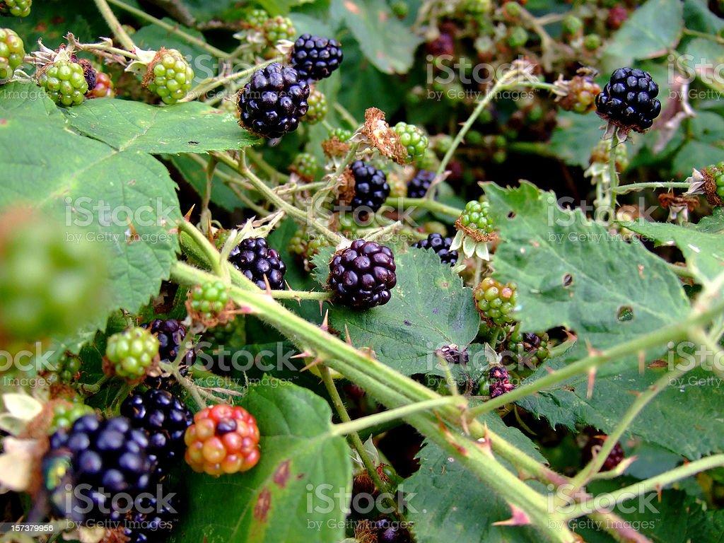 Blackberries Bush royalty-free stock photo