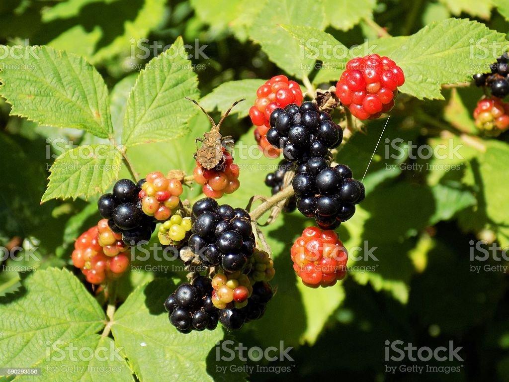 Blackberries on bush in wild nature royaltyfri bildbanksbilder