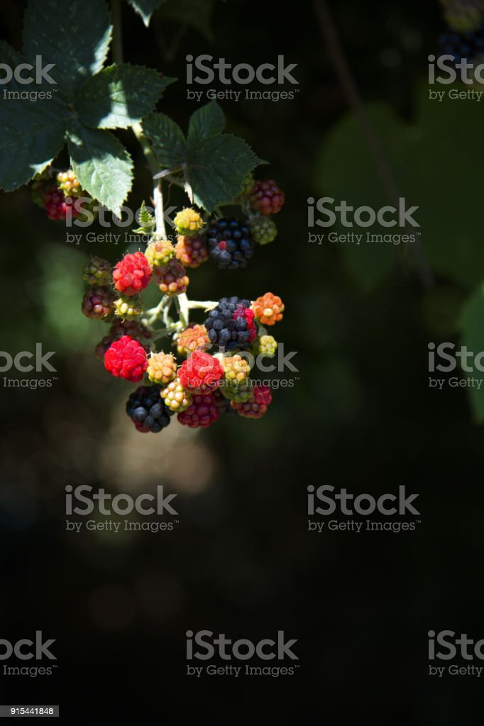 Blackberries on the vine are beautiful and fresh stock photo