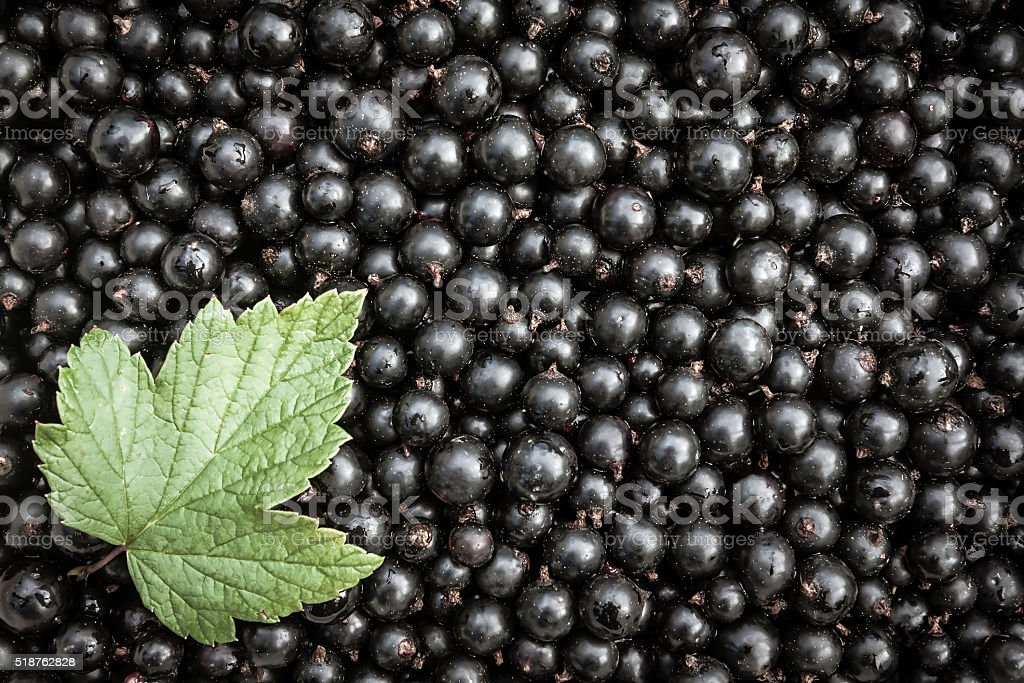 Blackberry background with green leaf and copy space stock photo