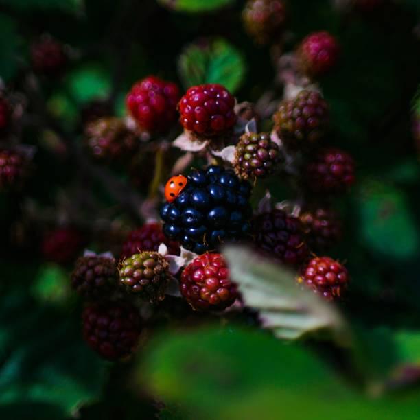 Blackberry black and red stil on plant stock photo