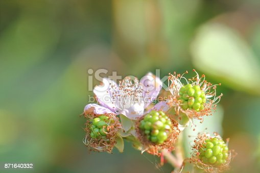 istock Blackberry blossom in autumn. Close up shot, macro. 871640332