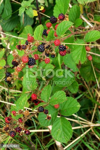 istock Blackberry bramble berries 451052631