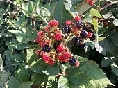 Wild blackberry bush full of red and black delicious blackberries