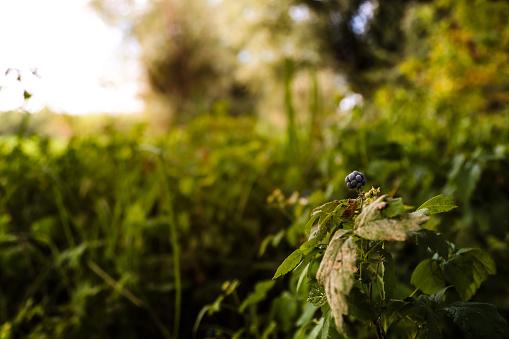 istock Blackberry bush in forest at morning light 607900354