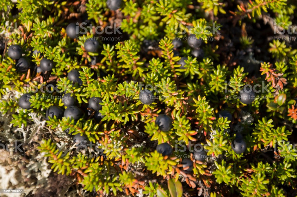 Blackberry bush partly black color in the green forest . Background under feet stock photo