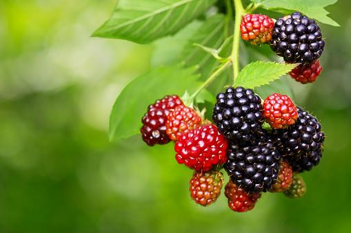 istock Blackberry bush with selective focus 1153163683