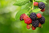 Bunch of ripe and unripe blackberries on the bush with selective focus