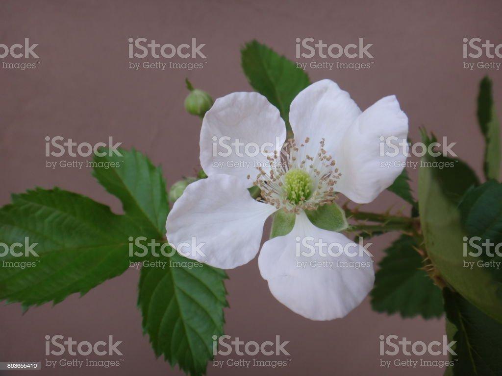 Blackberry flower stock photo
