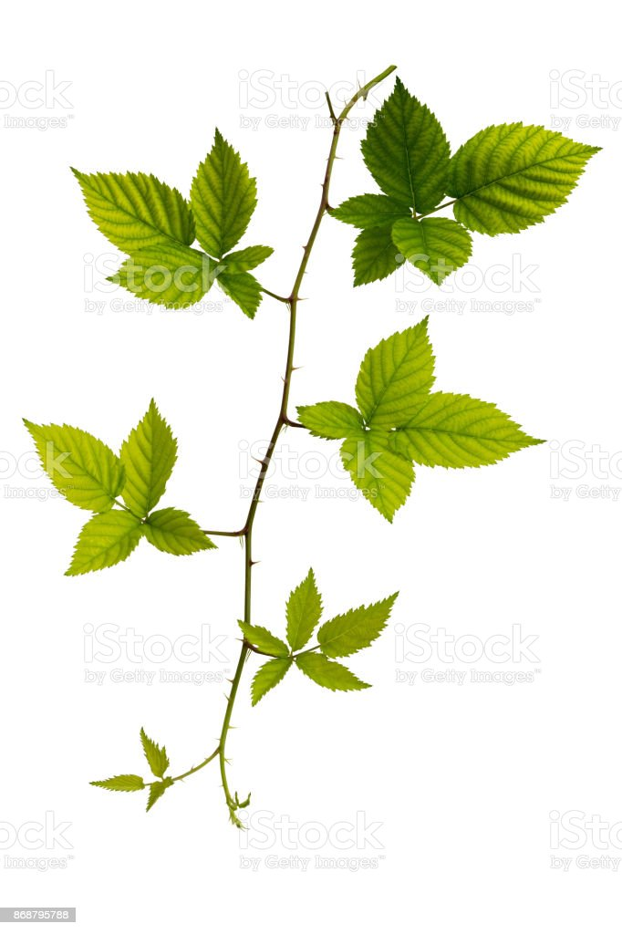 Blackberry fresh leaf isolated on white blackground stock photo