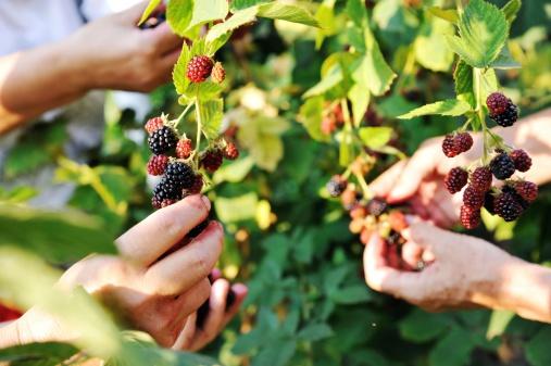 Blackberry harvest collecting