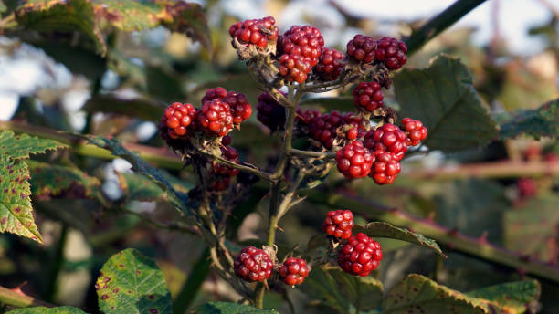 Blackberry hedge stock photo