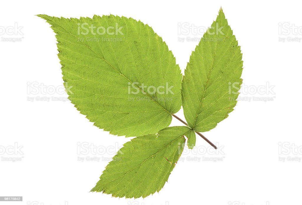 blackberry leaf royalty-free stock photo