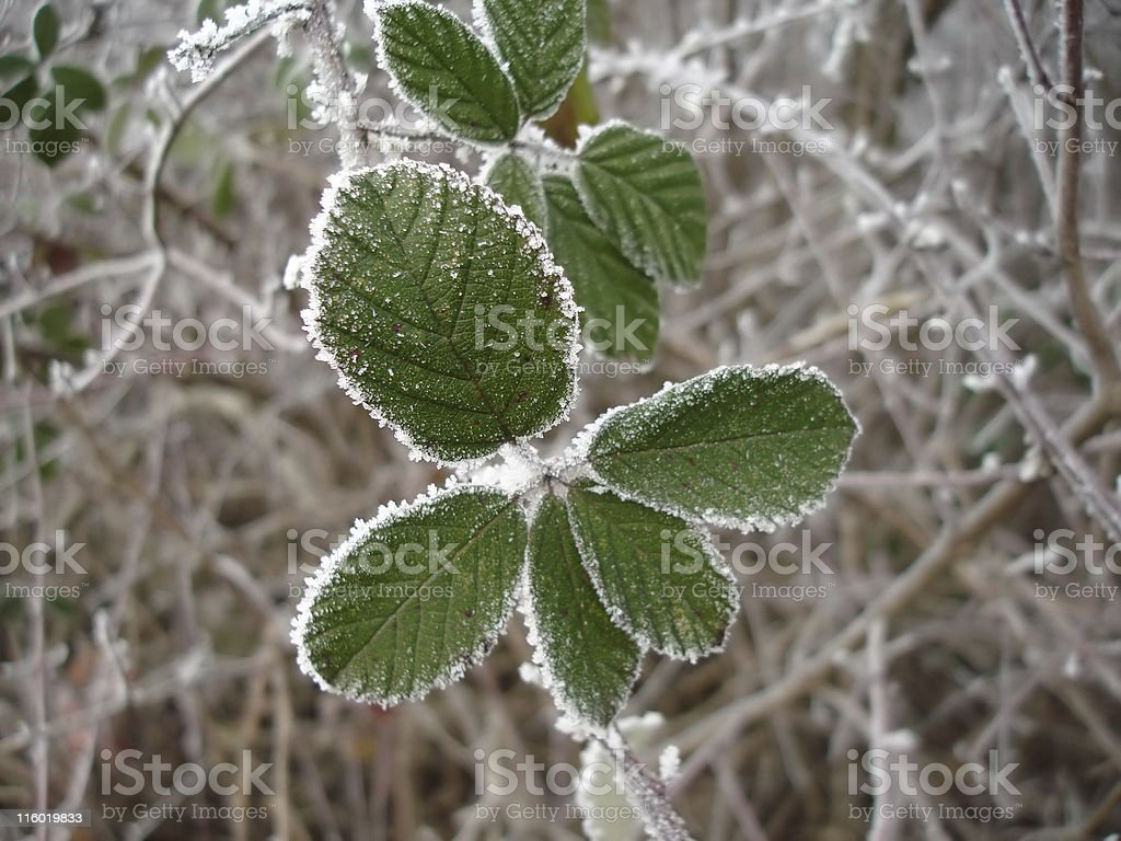 Blackberry leaves covered with frost royalty-free stock photo