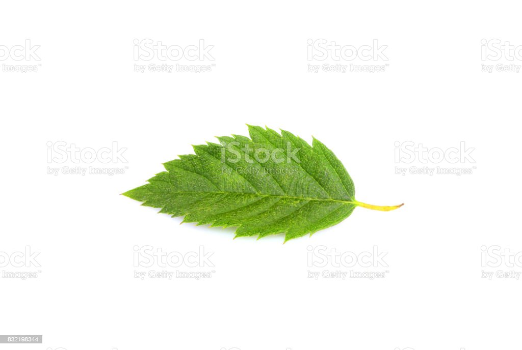 Blackberry Leaf Pictures