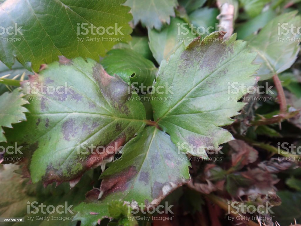 Blackberry leaves with water deficit symptom stock photo