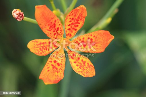 Blackberry Lily flower in garden (belamcada plant)
