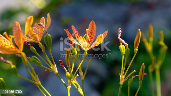Blackberry lily bloom in the garden