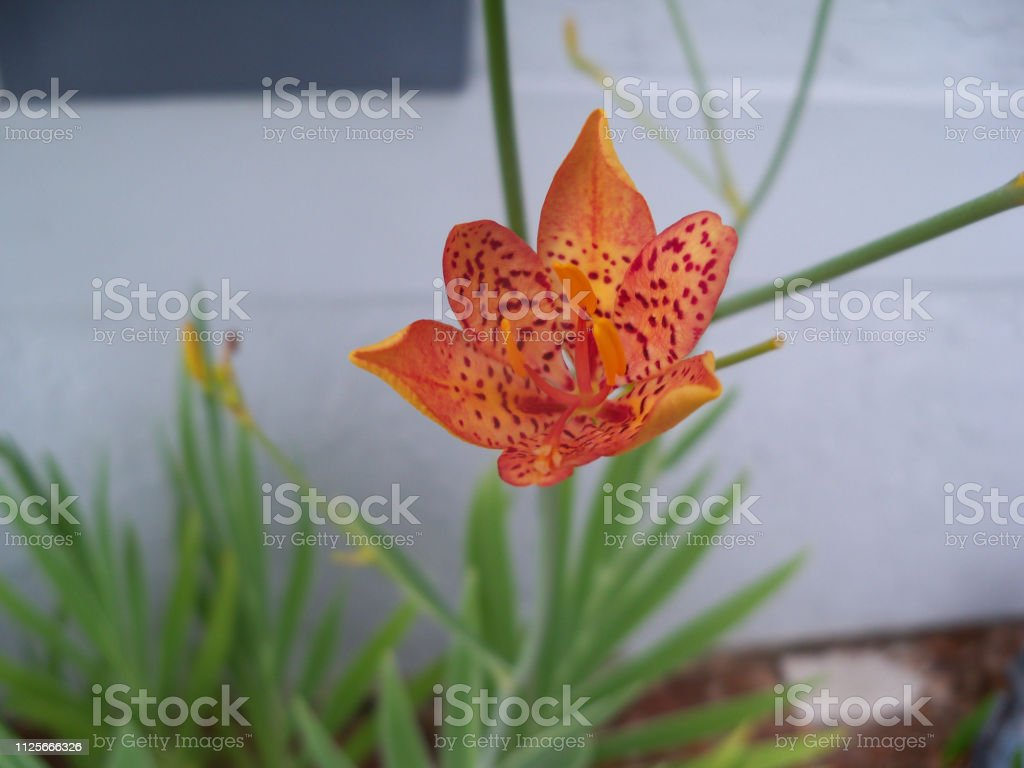 Blackberry Lily stock photo