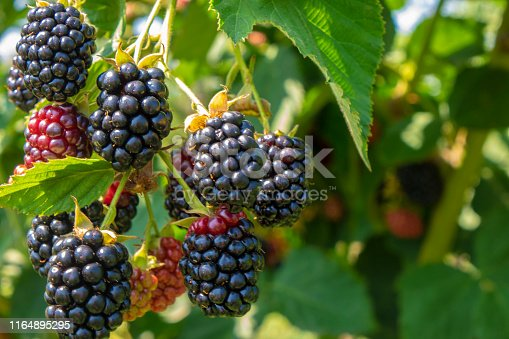 istock Blackberry on the bush in the farm garden 1164895295