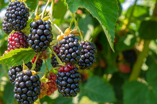 istock Blackberry on the bush in the farm garden 1164895295