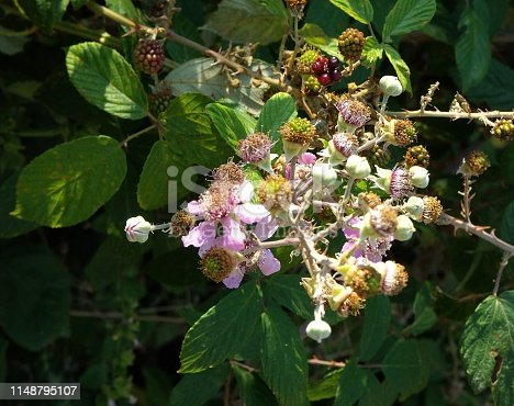istock Blackberry pale pink flowers and fruits 1148795107