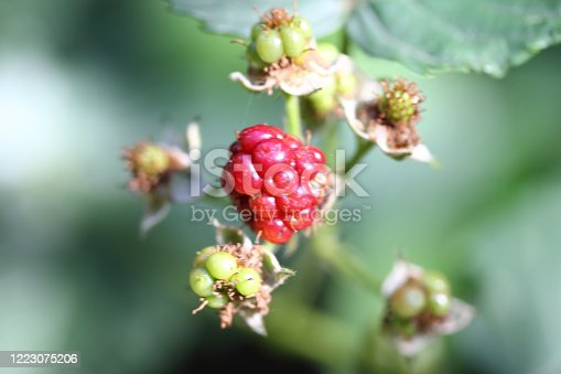 istock Blackberry (Rubus sectio Rubus) 1223075206