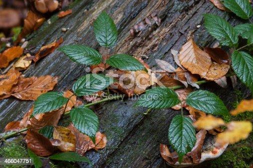 istock Blackberry, Rubus sectio, Blackberry, leves 466047751