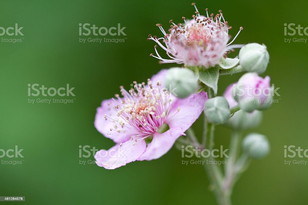 Blackberry Wild Flower stock photo