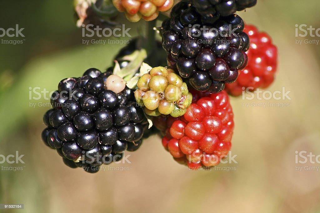 blackberry2 royalty-free stock photo