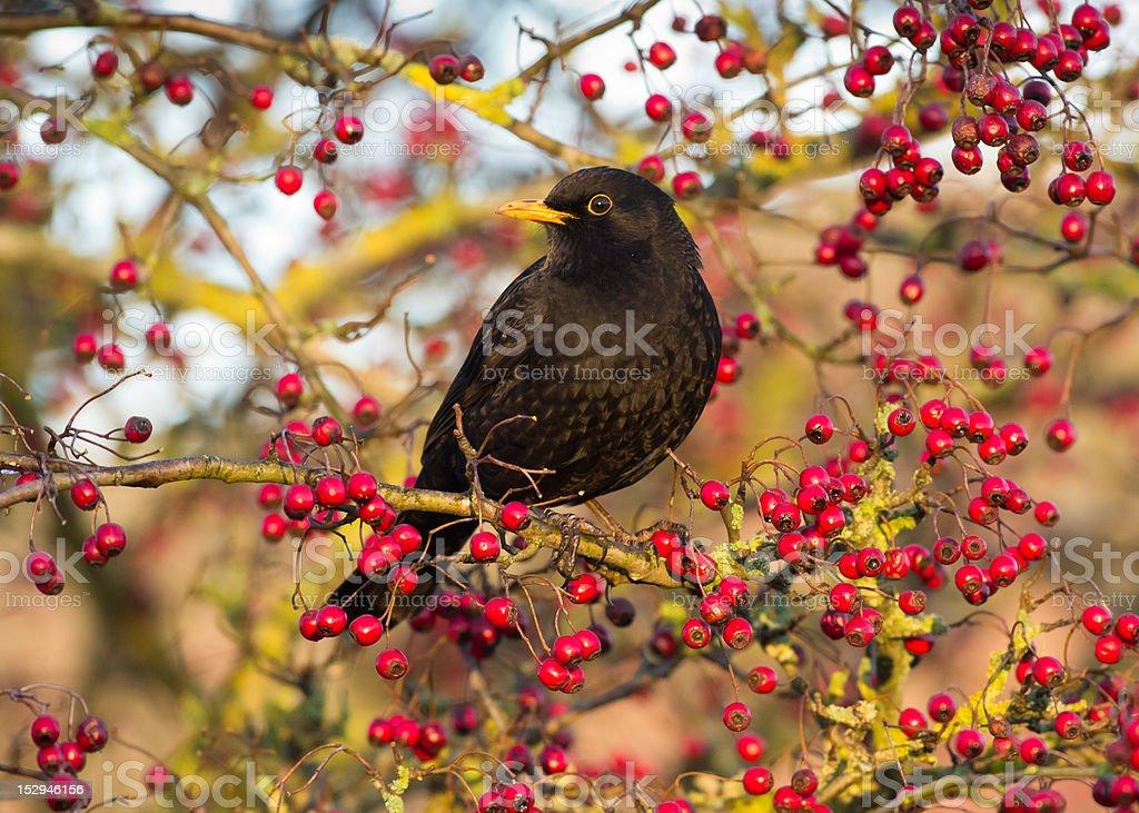 Blackbird and Berries stock photo