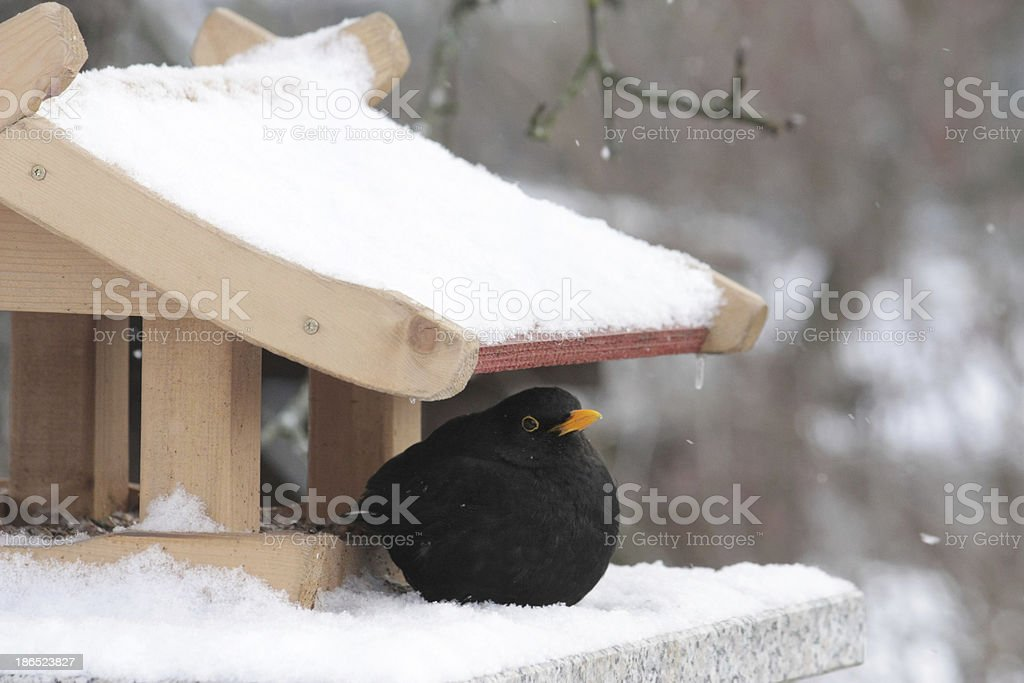 blackbird and bird feeder in winter royalty-free stock photo