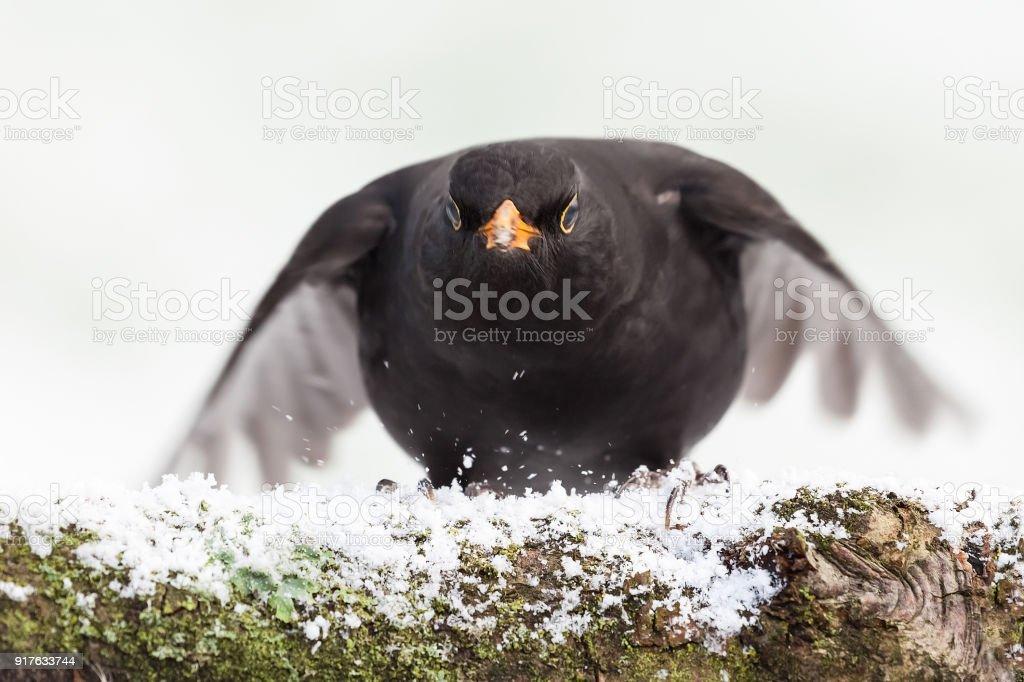 Blackbird close up landing in winter stock photo