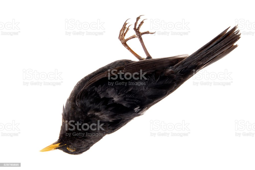 Blackbird (Turdus merula), dead, close up stock photo