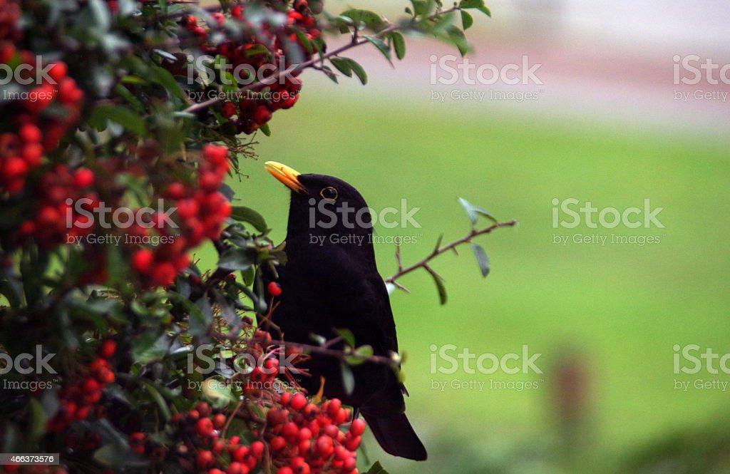 Blackbird manger de baie - Photo
