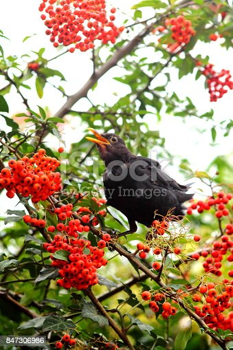 istock Blackbird eating red berries. 847306986