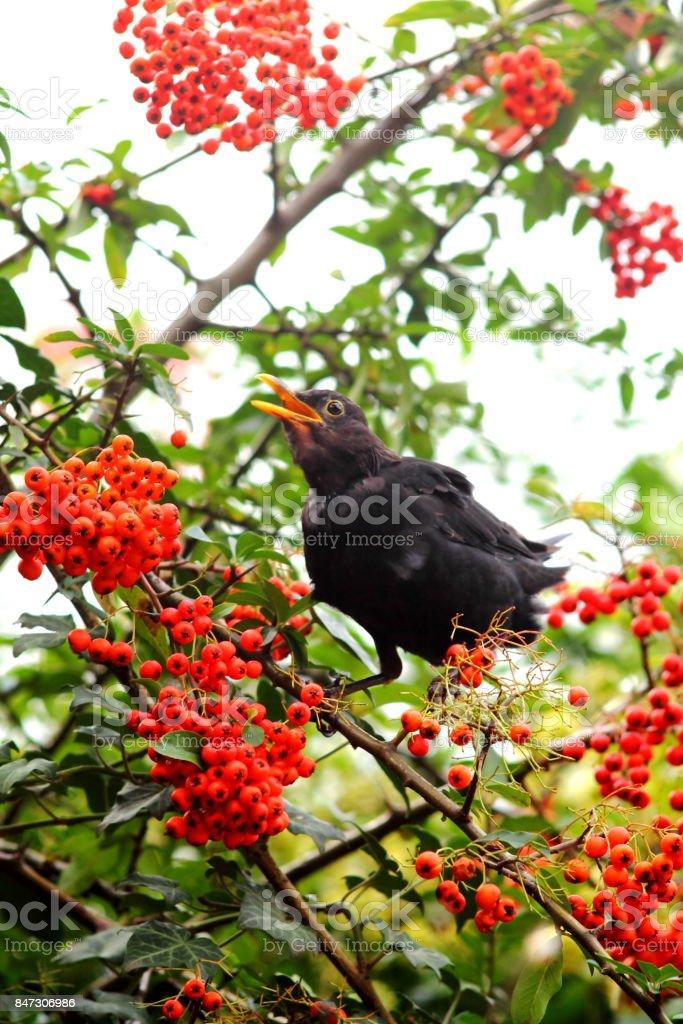 Blackbird eating red berries. stock photo