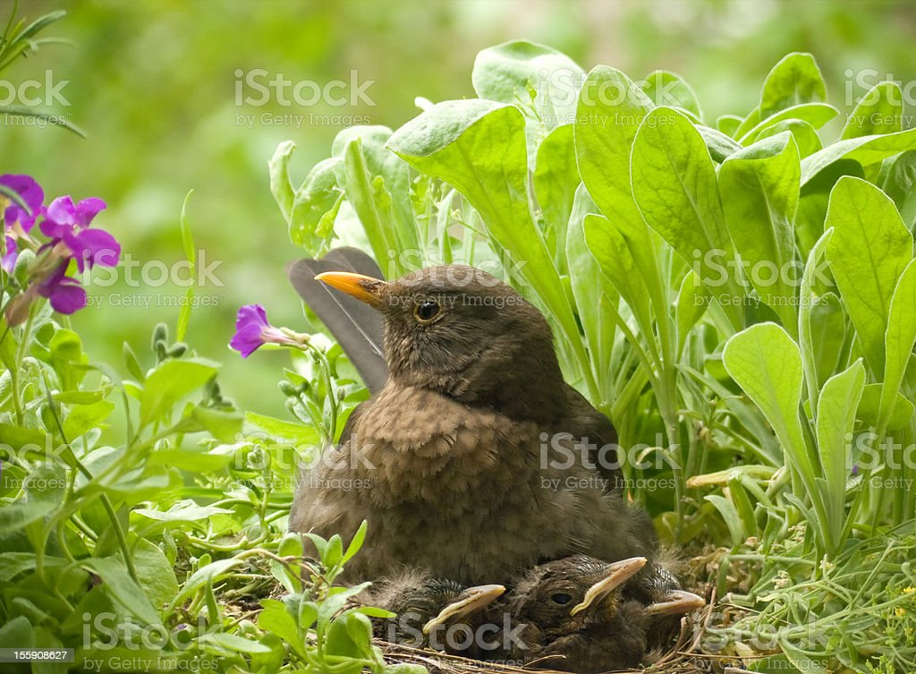 Blackbird family - female and 3 babies stock photo